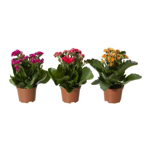 KALANCHOE - 盆栽植物, 長壽花/多款 | IKEA 香港及澳門 - PE232700_S4