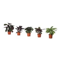 CALATHEA - 盆栽植物, 竹芋/多款 | IKEA 香港及澳門 - PE643512_S3