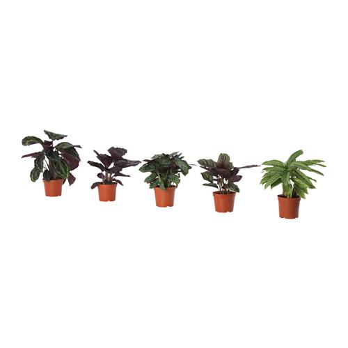 CALATHEA - potted plant, Calathea/assorted | IKEA Hong Kong and Macau - PE643512_S4