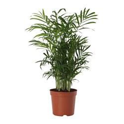 CHAMAEDOREA ELEGANS - 盆栽植物, 袖珍椰子 | IKEA 香港及澳門 - PE643527_S3
