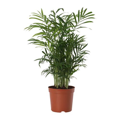 CHAMAEDOREA ELEGANS - potted plant, Parlour palm   IKEA Hong Kong and Macau - PE643527_S4