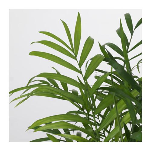 CHAMAEDOREA ELEGANS - potted plant, Parlour palm   IKEA Hong Kong and Macau - PE643526_S4