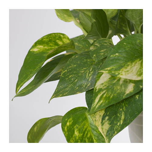EPIPREMNUM - potted plant, Golden Pothos/assorted | IKEA Hong Kong and Macau - PE643532_S4