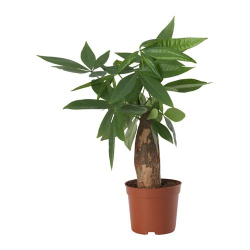 PACHIRA AQUATICA - potted plant, Guinea chestnut | IKEA Hong Kong and Macau - PE643557_S4