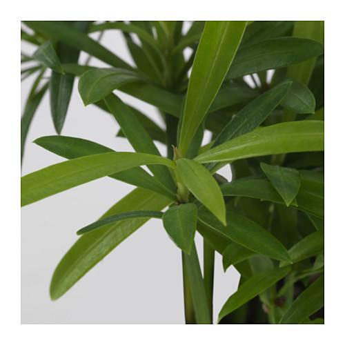 PODOCARPUS 盆栽植物