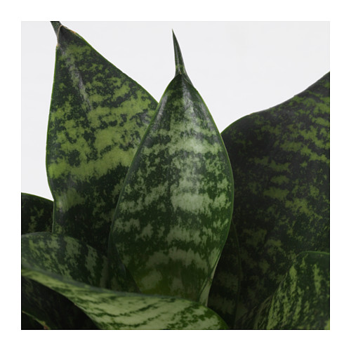 SANSEVIERIA HAHNII - potted plant, assorted | IKEA Hong Kong and Macau - PE643682_S4