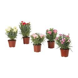DIANTHUS CARYOPHYLLUS - 盆栽植物 | IKEA 香港及澳門 - PE834489_S3