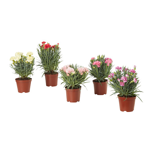 DIANTHUS CARYOPHYLLUS - potted plant | IKEA Hong Kong and Macau - PE834489_S4