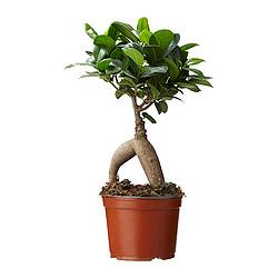 FICUS MICROCARPA GINSENG - 盆栽植物 | IKEA 香港及澳門 - PE284623_S3