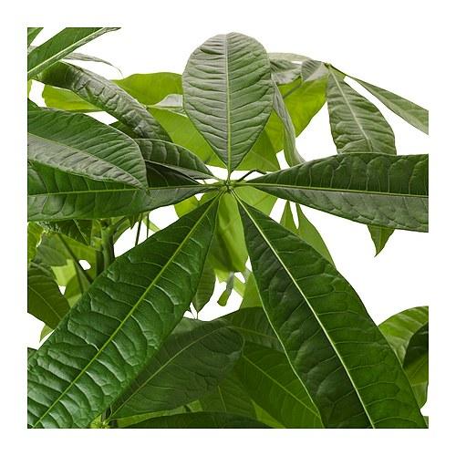 PACHIRA AQUATICA potted plant
