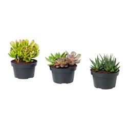 SUCCULENT - 盆栽植物, 插花/多款 | IKEA 香港及澳門 - PE653242_S3