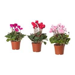 CYCLAMEN - 盆栽植物, 多款 | IKEA 香港及澳門 - PE656714_S3