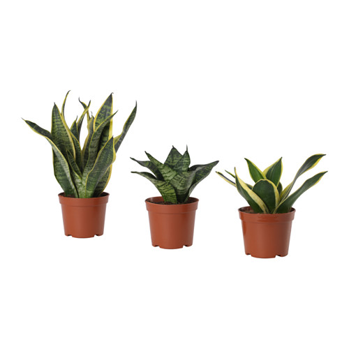 SANSEVIERIA HAHNII - potted plant, assorted | IKEA Hong Kong and Macau - PE656729_S4
