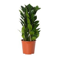 ZAMIOCULCAS - 盆栽植物, 金錢樹 | IKEA 香港及澳門 - PE656746_S3