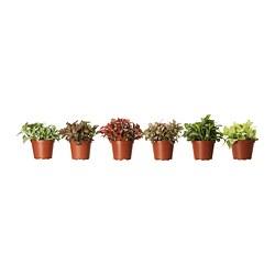 FITTONIA - 盆栽植物, 多款 | IKEA 香港及澳門 - PE303167_S3