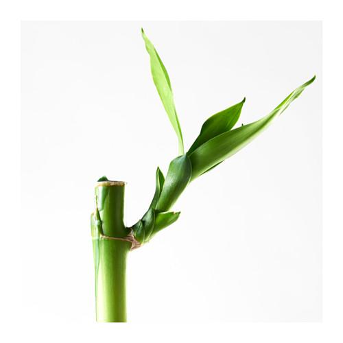DRACAENA 植物