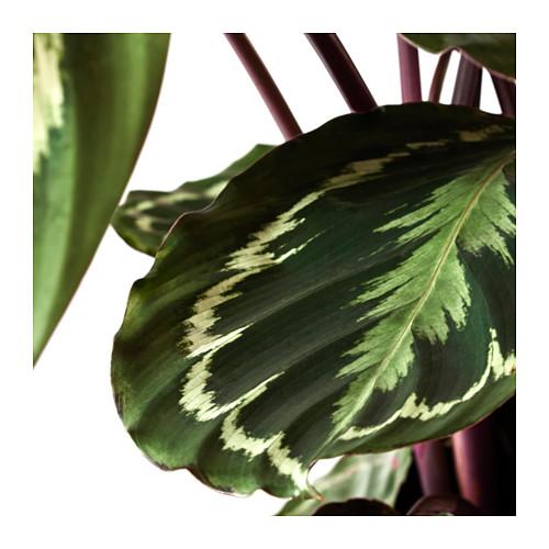CALATHEA - potted plant, Calathea/assorted | IKEA Hong Kong and Macau - PE594504_S4