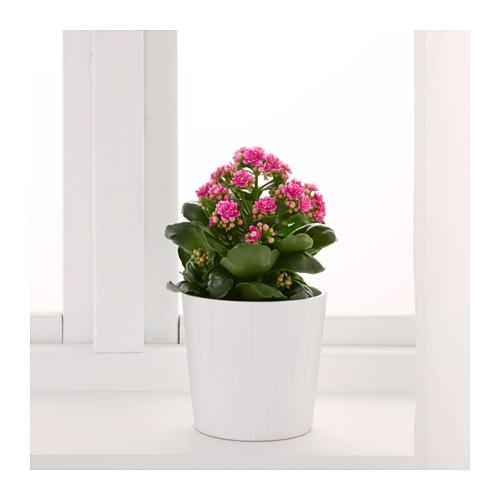 KALANCHOE - 盆栽植物, 長壽花/多款 | IKEA 香港及澳門 - PE594589_S4