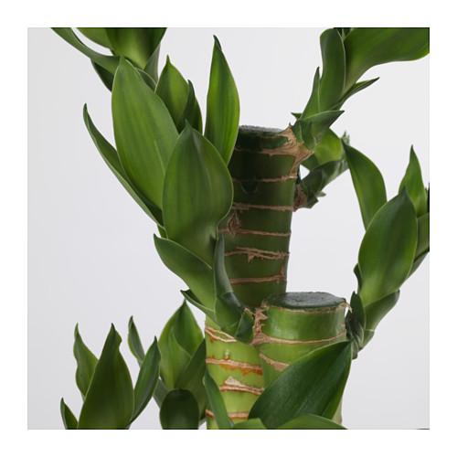 DRACAENA 盆栽植物