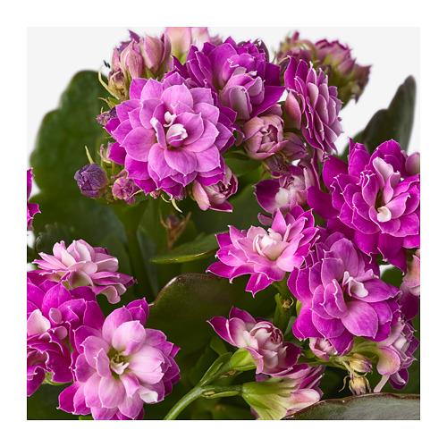 KALANCHOE - 盆栽植物, 長壽花/多款 | IKEA 香港及澳門 - PE668068_S4