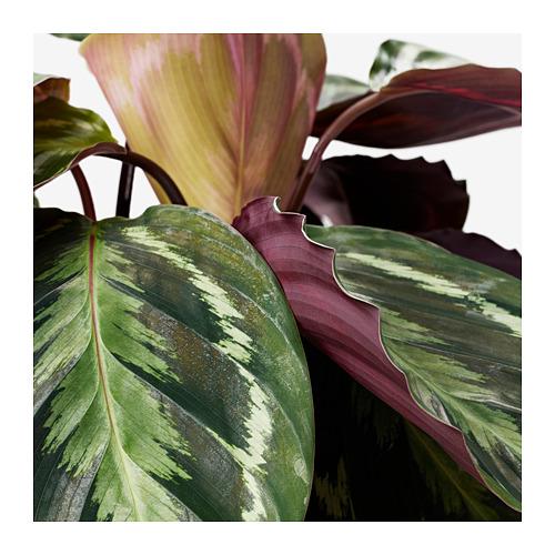 CALATHEA - potted plant, Calathea/assorted | IKEA Hong Kong and Macau - PE672036_S4