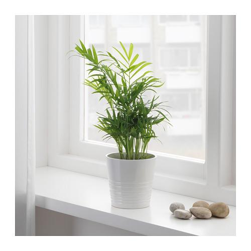 CHAMAEDOREA ELEGANS 盆栽植物