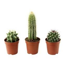 CACTACEAE - 盆栽植物, 仙人掌/多款 | IKEA 香港及澳門 - PE181264_S3
