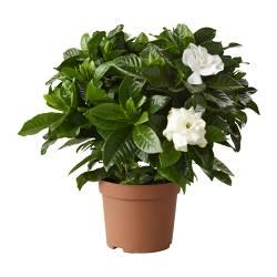 GARDENIA JASMINOIDES - 盆栽植物, 梔子花 | IKEA 香港及澳門 - PE181288_S3