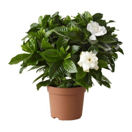 GARDENIA JASMINOIDES - 盆栽植物, 梔子花 | IKEA 香港及澳門 - PE181288_S4
