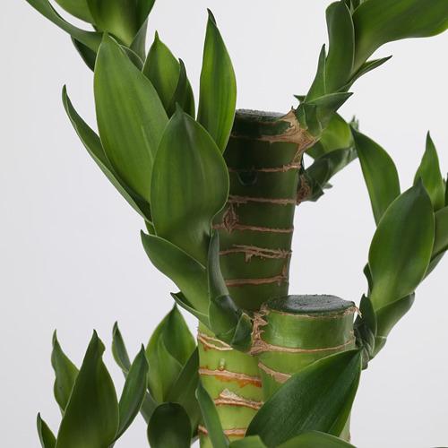 DRACAENA - 盆栽植物, 虎斑木   IKEA 香港及澳門 - PE656771_S4