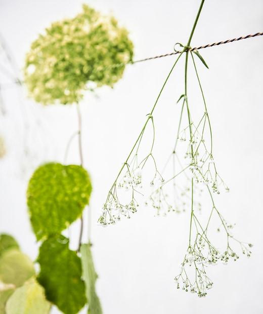 掛在繩上的一支花莖