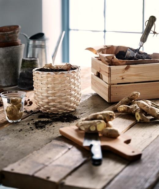 粗糙木檯上種於藤製花盆內的薑,旁邊放有一個木箱,裡面放有啡色紙和泥土。