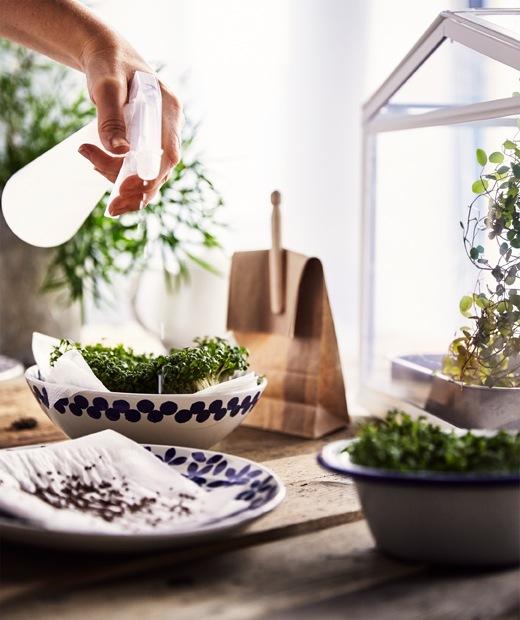 粗糙木檯上放有陶瓷碗碟,上面放有種子和放在紙上的自家種植水芹,有人正向水芹噴水。