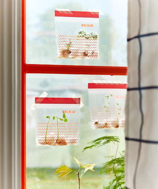 Three ISTAD plastic bags with red decorative prints taped to a window and filled with sprouting seeds.