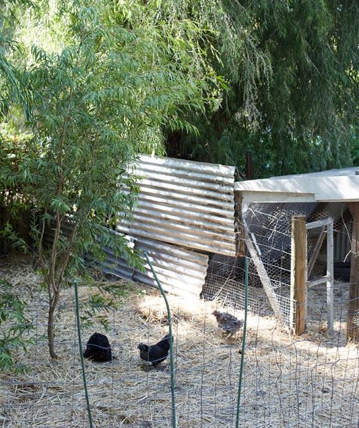 在樹木之間用鐵絲網和鋅鐵建成的雞舍。