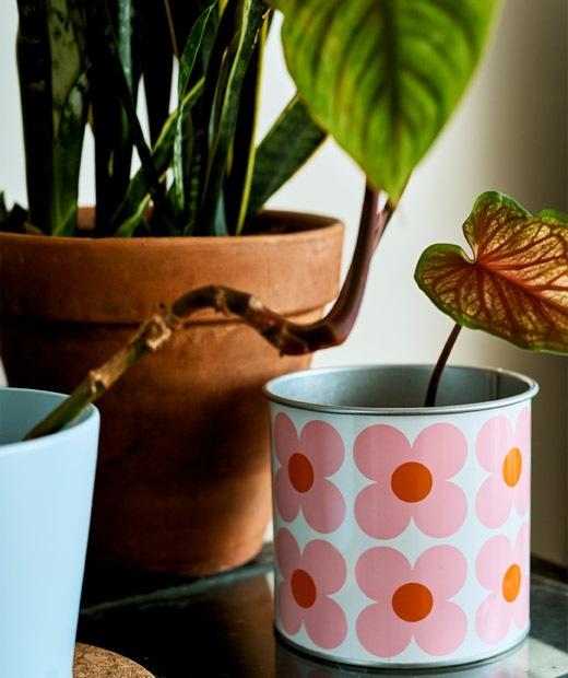 在花卉圖案花盆裡發芽的植物。